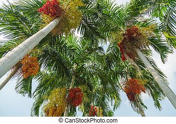 Betel palm.
