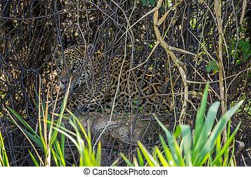 betriebe, brasilien, jaguar, pantanal, hinten, wild,...