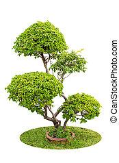 betriebe, dekorativ, bougainvilleas, aus, freigestellt, busch, hintergrund, weißes