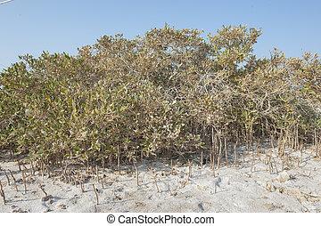 betriebe, mangrovenbaum, sandstrand, sandig, wurzeln