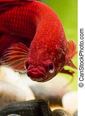 betta, fish, do góry szczelnie
