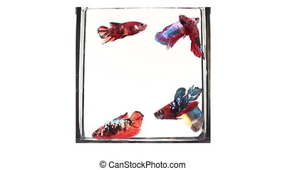 betta fish fancy swimming on isolated background