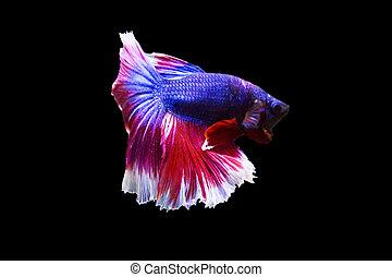 betta fish isolated on black background.