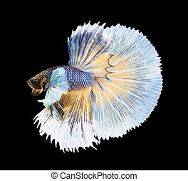 Betta fish, siamese fighting fish, betta splendens (Halfmoon bet