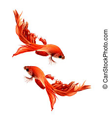 Betta fish, siamese fighting fish, betta splendens (Halfmoon betta )isolated on white background