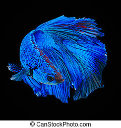 Betta fish, siamese fighting fish, betta splendens isolated ...