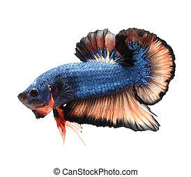 Betta fish, siamese fighting fish,