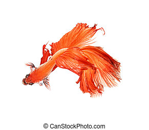 Betta fish, siamese fighting fish, betta splendens on top view with white background