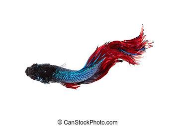 Betta fish, siamese fighting fish, betta splendens top view isolated on white background