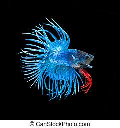 betta fish, siamese fighting fish