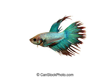 Betta fish, siamese fighting fish, blue with clipping path