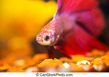 Betta in an aquarium - Red and white speckled betta in an...