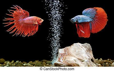 betta, pez, siameses luchar contra peces, en, acuario