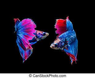 Betta splendens, siamese fighting fish isolated on black background