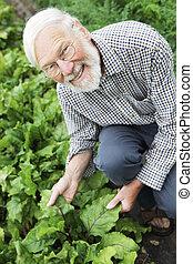 betterave, organique, inspection, récolte, paysan