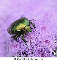 Bettle Cetonia aurata ?loseup on purple flower