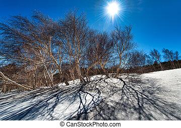 Betula aetnensis in the park of the Etna volcano in Sicily -...