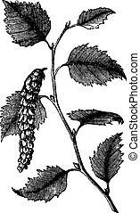 Betula papyrifera or Paper Birch, leaves, vintage engraving....
