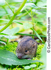 betulina), natural, habitat, (sicista, floresta, vidoeiro, pequeno, rato, seu