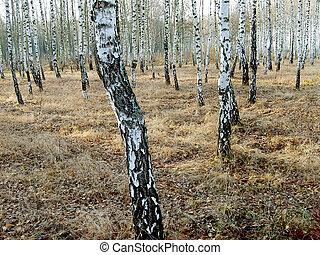 betulla, boschetto, vicino, autunno