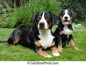 betydelig, voksen, schweizisk, hundehvalp, bjerg hund