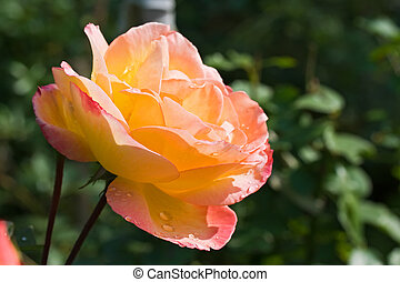 Beuatiful rose in the garden