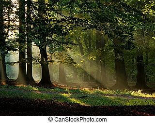 beuk, bos, met, mist, en, warme, zonneschijn, in, herfst,...