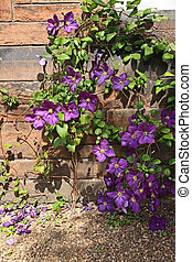 Beutiful violet clematis climbing on the wall