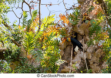 Knobbed hornbill, Aceros cassidix, fed walled female on the nest at a tree top. Tangkoko National Park, Sulawesi, Indonesia