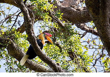 Knobbed hornbill, Aceros cassidix, on the branch at a tree top. Tangkoko National Park, Sulawesi, Indonesia