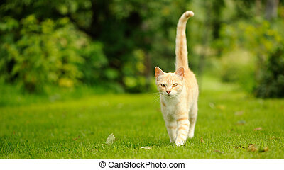 bevallig, kat, wandelende, op, groen gras, (16:9, aspect,...