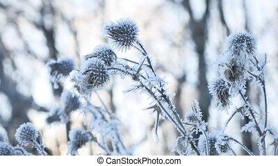 bevroren, doorn, in, de, sneeuw, winter, droog, gras, sneeuw, winter, bos, natuur landschap
