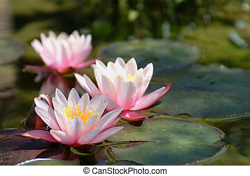 bewässern lilien