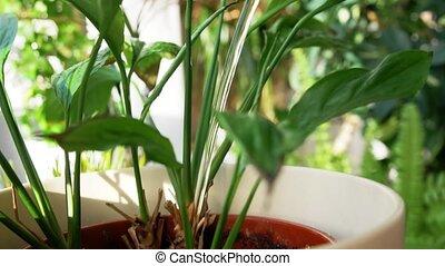 bewässerung, spathiphyllum, wasser, gießen, buechse, blume