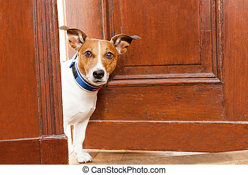 beware of dog - jack russell terrier dog at the door at home...