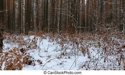 bewegen, durch, der, winter, kiefernwald