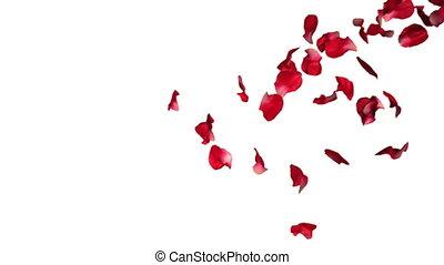 bewegung, rose, fallender , langsam, blütenblätter