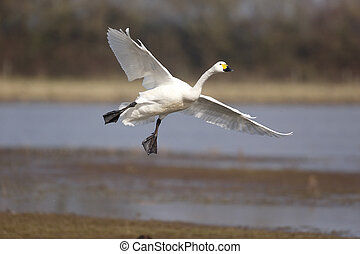 Bewicks swan, Cygnus bewickii, single bird in flight, ...