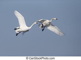 Bewicks swan, Cygnus bewickii, two birds in flight, ...