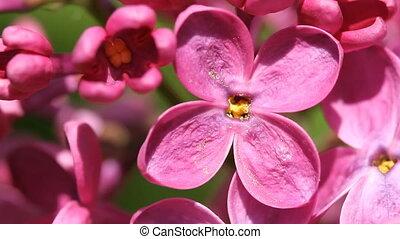 bez, kwiat, rozkwiecony, makro, wspaniały