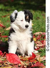 bezaubernd,  Collie, junger Hund, umrandungen