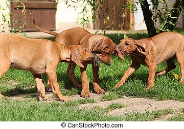 bezaubernd, hundebabys, spielen spielzeugen