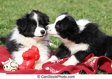 bezaubernd, rand- collie, hundebabys, spielende