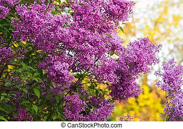 bg, ライラック, 紫色, 春, flowers., ブランチ