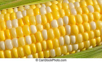 Bi-Color Corn on the Cob - Close-up of Bi-Color Sweet Corn...