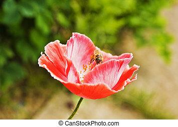 bi, in, vallmo, blomma