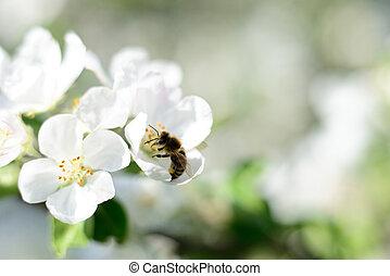 bi, och, vita blommar