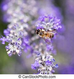 bi, på, lavendel, lent fokus