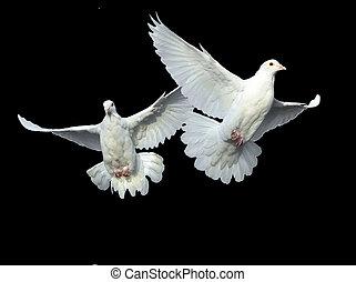 biała gołębica, w, wolny, lot