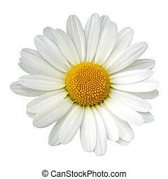 biała margerytka
